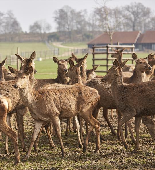 deer farming with a herd of red deer