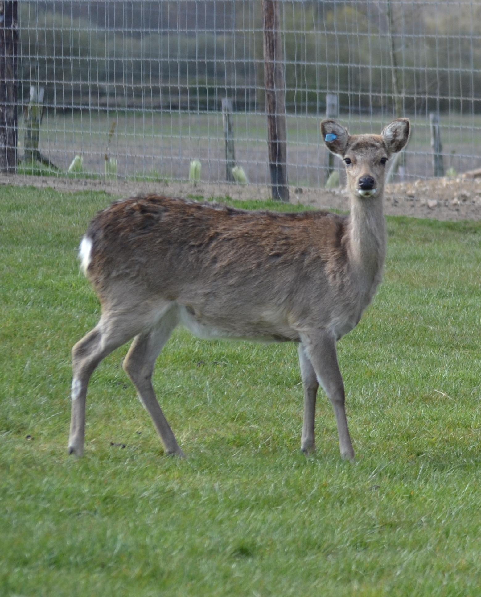 Lone Sika Deer at Sky Park Farm