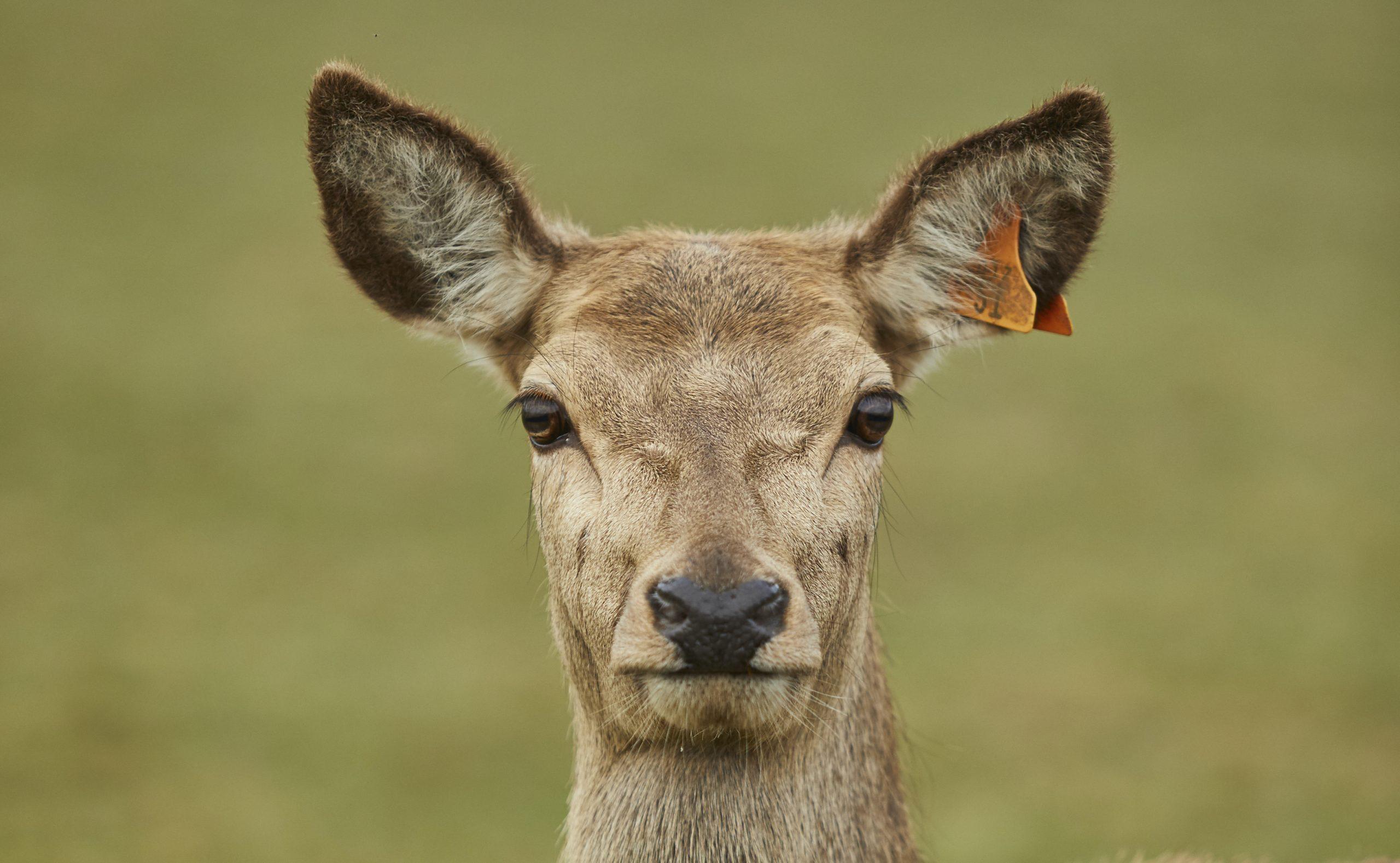 Red Deer Hind at Sky Park Farm