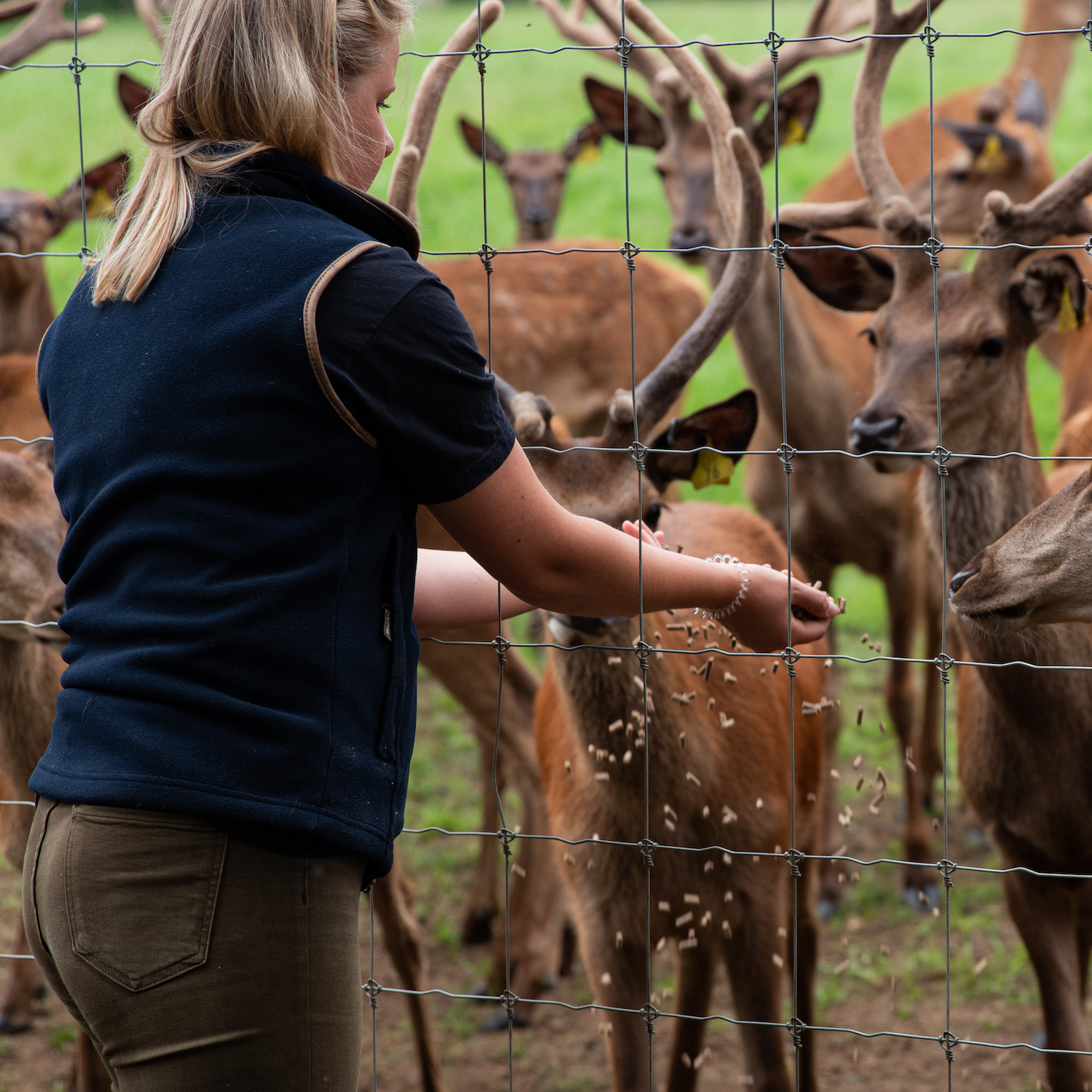 Lily our ranger feeding the red deer at Sky Park Farm