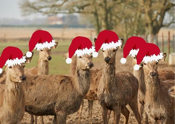 Christmas deer at Sky Park Farm